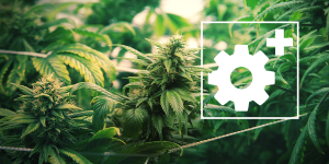 Manual de cultivo de marihuana para avanzados