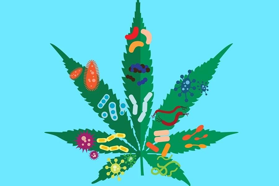 coronavirus cannabis